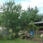 Aprikosenbäume am 04. August