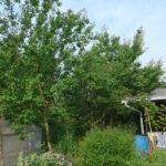 Aprikosenbäume am 20. Juni