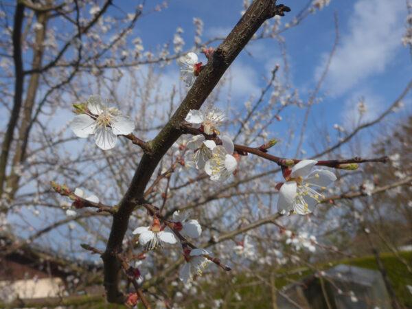 Aprikosenblüten
