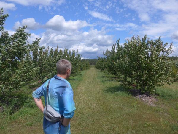 Aprikosenbäume in Krugau/Märkische Heide