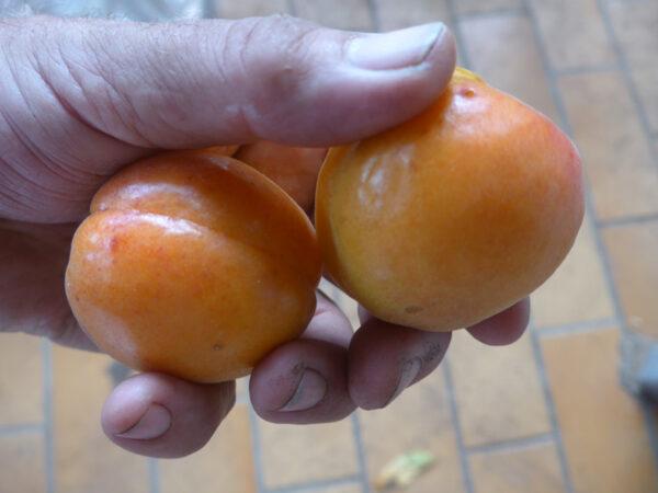Zwei Aprikosen von Baum 1