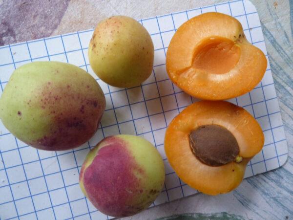 Drei Aprikosensorten