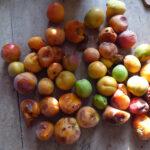 Aprikosen aus Pappkistchen