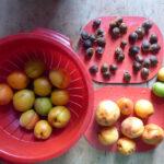 Aprikosen, sortiert und teilweise entsteint