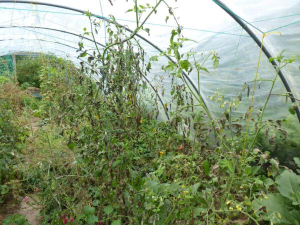 Braunfaule Tomatenpflanzen