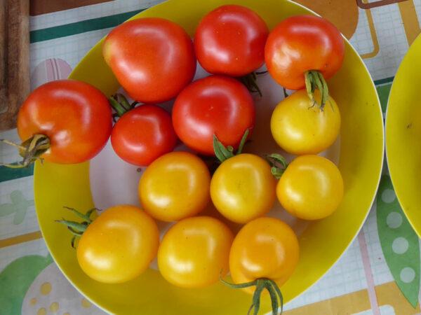 Mittelgroße, gelbe Tomatenkreuzung